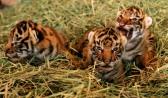 sf-zoo-tiger-cub-3a.jpg